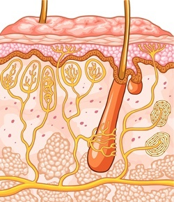 Cross section of a hair and hair follicle